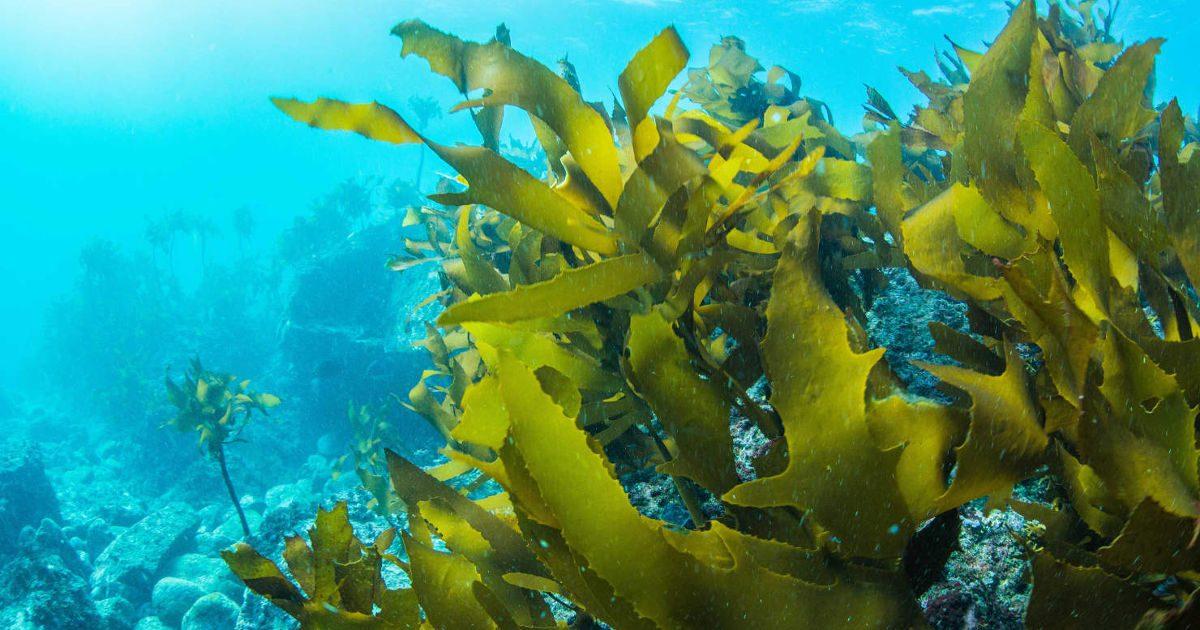 tengeri moszat fogyás