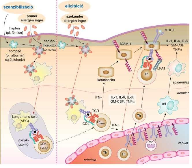 hízósejt-aktiválás fogyás